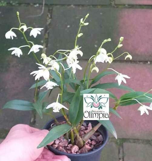 Dendrobium kingianum alba - CHEIRO DE MEL