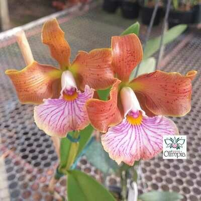 Cattleya velutina self
