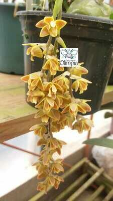 Polystachya affinis- BULBO ACHATADO