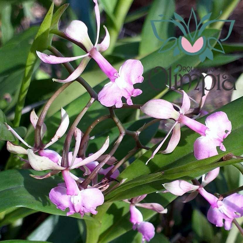Epi. longispathum