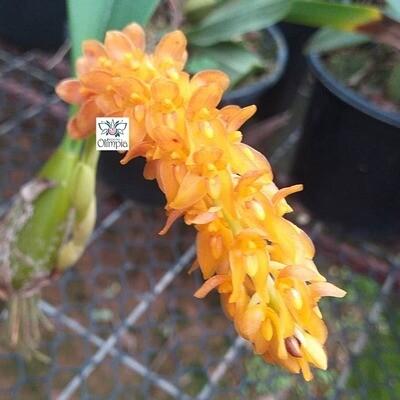 Bulbophyllum elassonotum