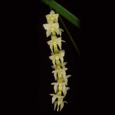Dendrochilum stenophyllum