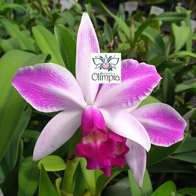 C. violacea s/ alba x Laelia purpurata flamea