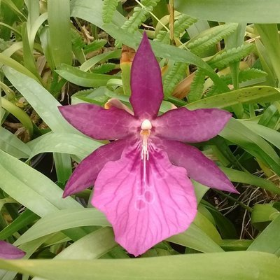 "Miltonia spectabilis moreliana ""Olimpia"" x (Milt. spectabilis moreliana x Candida)"