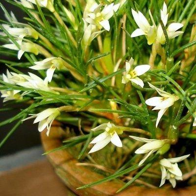 Maxillaria seidelii