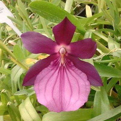Miltonia spectabilis moreliana ext sibling