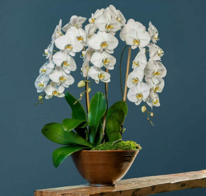 Graceful Orchid