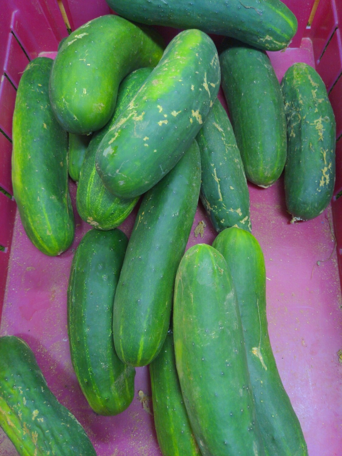 Cucumber, regular, Hlubik's