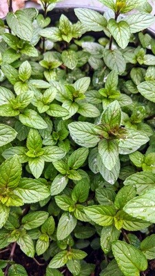 Fresh Culinary Herbs from Kindred Seedlings Farm