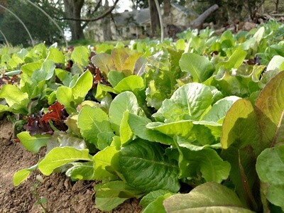 Organic Mesclun Salad Mix from Lilymont Terraculture