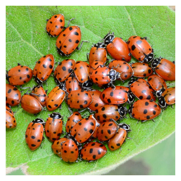 Arbico Ladybugs