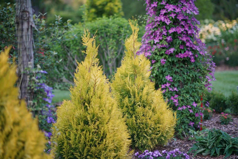 Arborvitae - Thuja plicata Fluffy