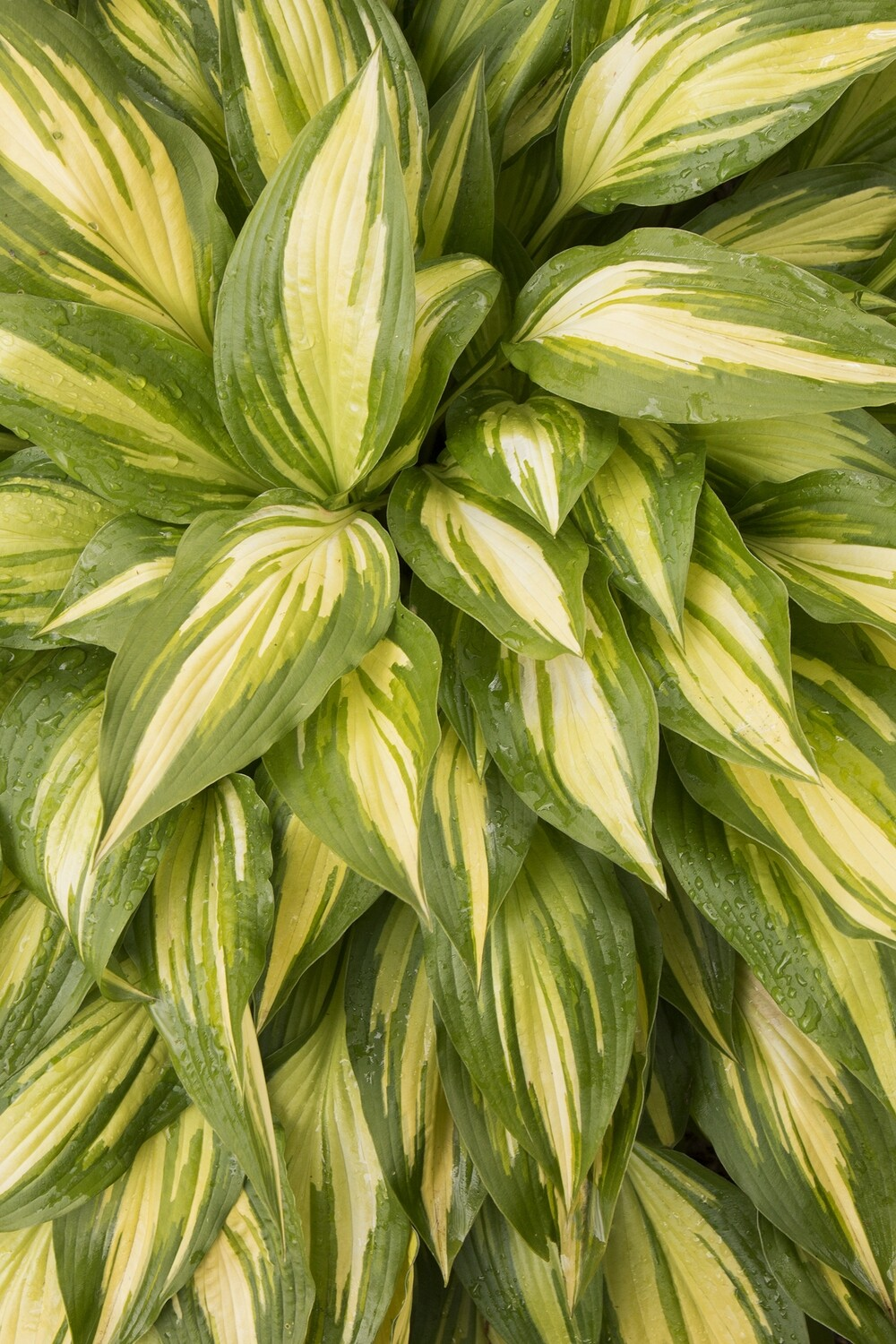 Hosta - Cherry Berry