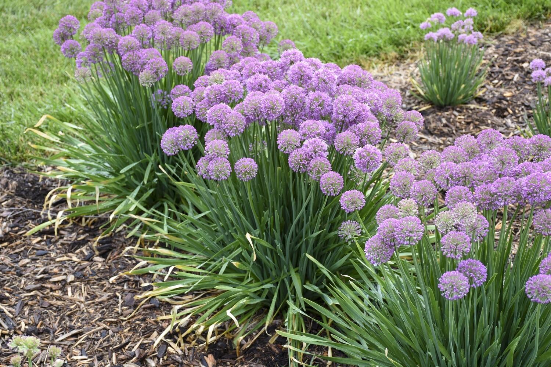 Ornamental Onion - Allium 'Serendipity'