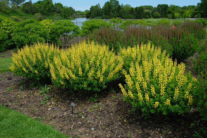 False Indigo - Baptisia 'Sunny Morning'