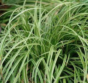 Sedge - Carex 'Silver Sceptre'