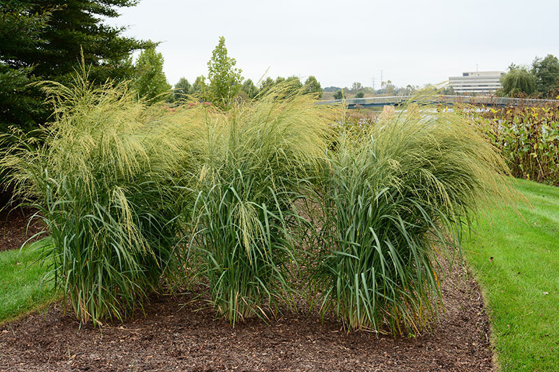 Switchgrass - Panicum 'Bad Hair Day'