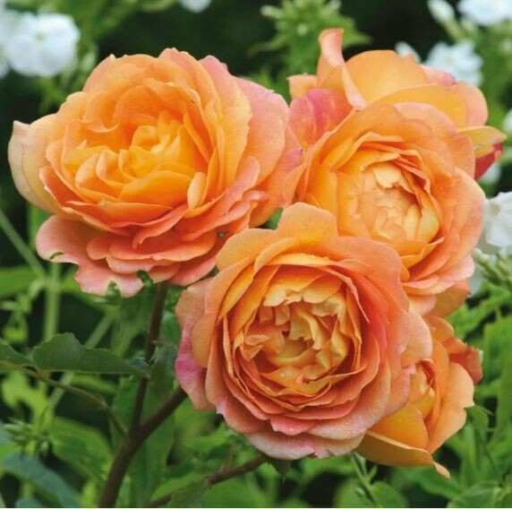 David Austin Rose - Rosa 'Lady of Shalott'