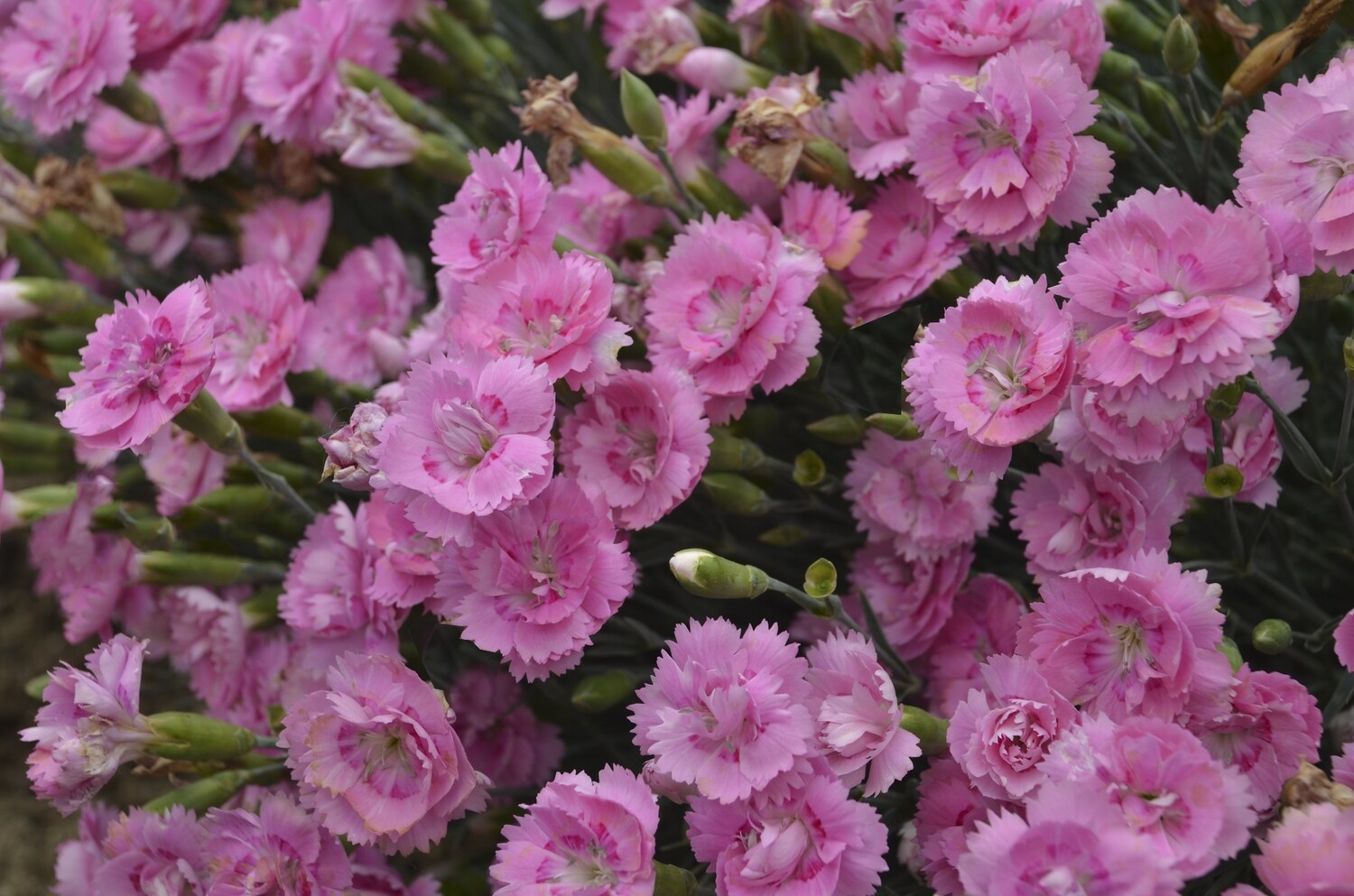 Garden Pinks - Dianthus Fruit Punch Sweetie Pie