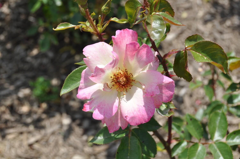 Buck Rose - Rosa 'Cinderella's Song'