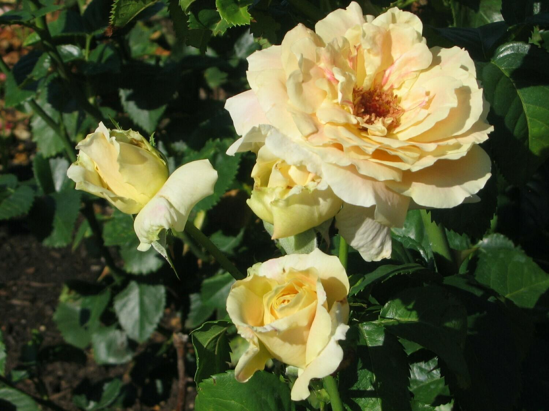 Buck Rose - Rosa 'Prarie Harvest'
