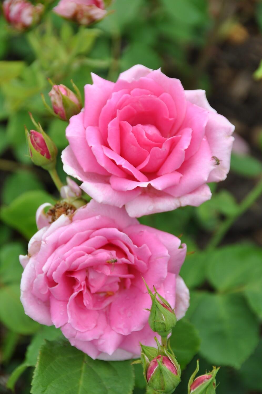 Buck Rose - Rosa 'Simon Estes'