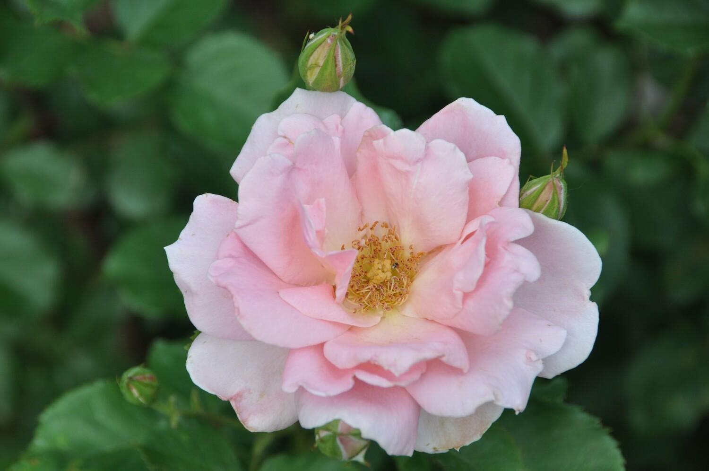 Buck Rose - Rosa 'Ellen's Joy'