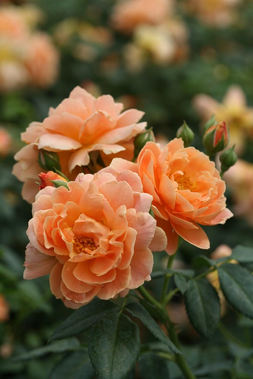 Rose - Rosa At Last