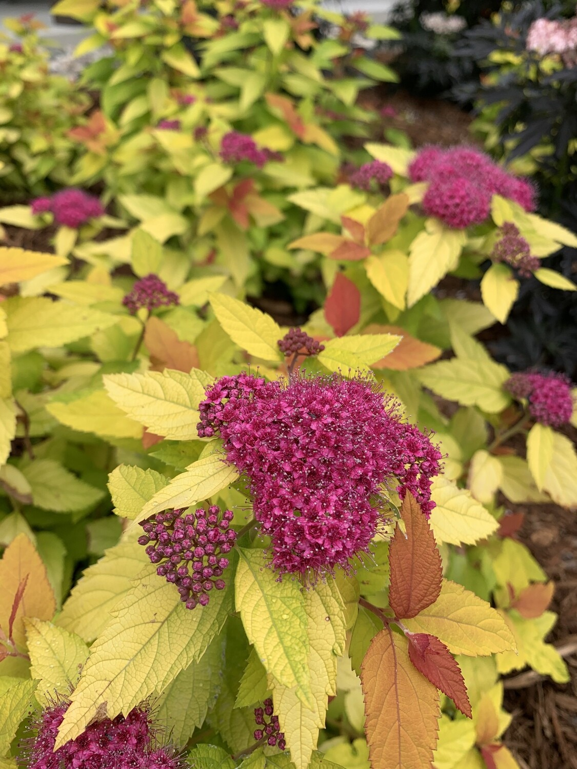 Spirea - Spiraea japonica Double Play Candy Corn