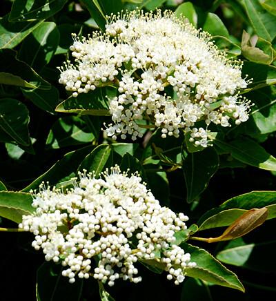 Viburnum, Witherod - Viburnum cassinoides Endeavor