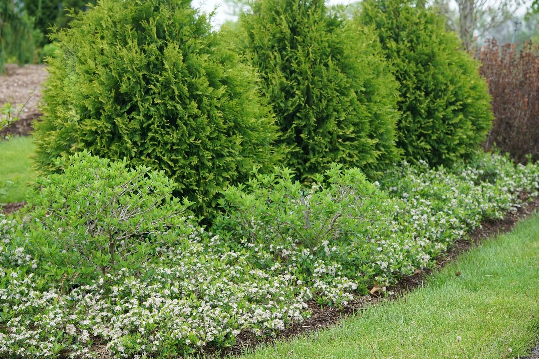 Chokeberry - Aronia melanocarpa Ground Hog