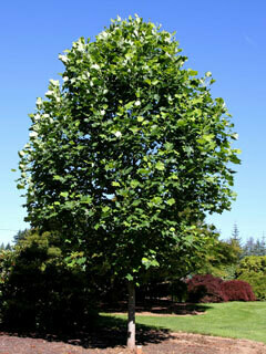 Tulip Tree - Liriodendron tulipifera Emerald City