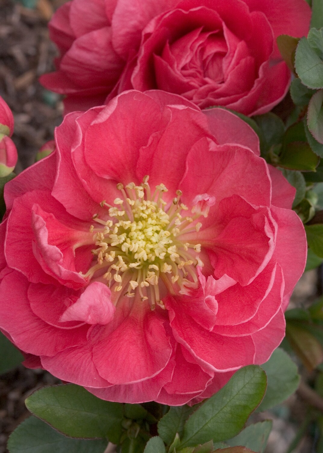 Flowering Quince - Chaenomeles speciosa Double Take Pink Storm