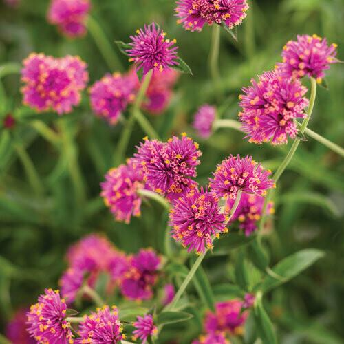 Globe Amaranth - Gomphrena pulchella Truffula Pink