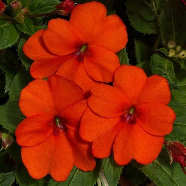 Impatiens - Impatiens hawkeri SunPatiens® Vigorous Clear Orange