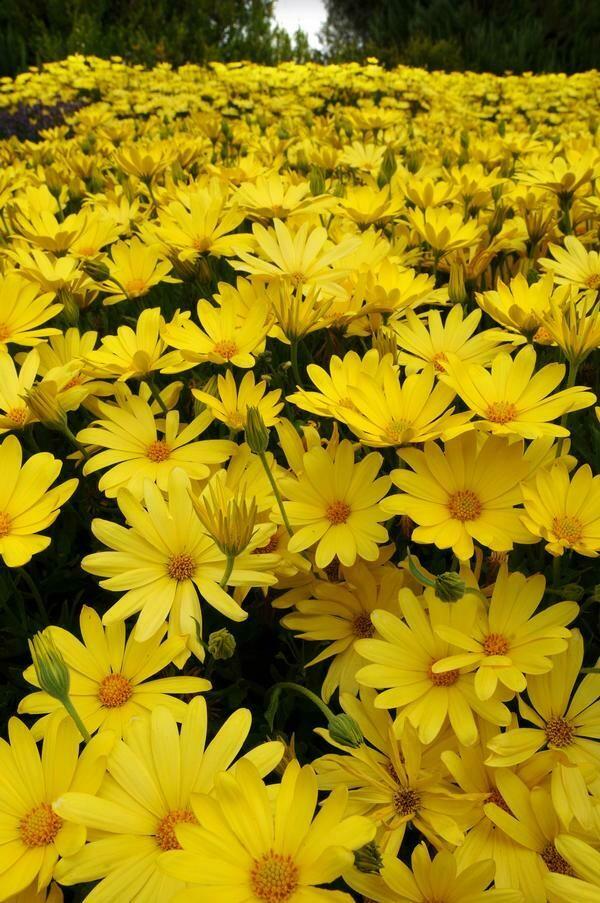 Cape Daisy - Osteospermum Voltage Yellow