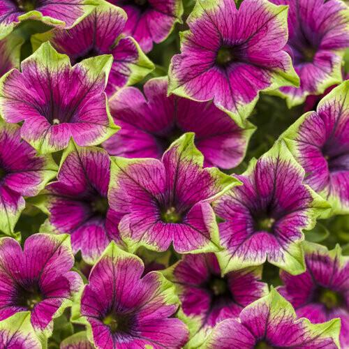 Petunia - Supertunia Picasso in Purple