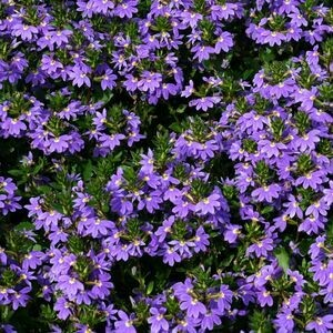 Fairy Fan Flower - Scaevola aemula 'Blue Fan'