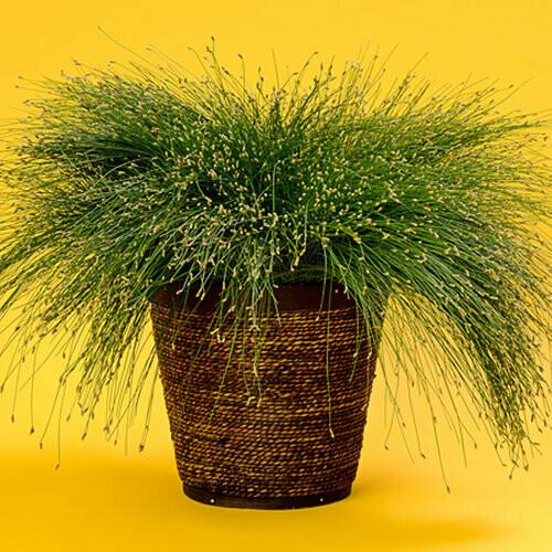 Fiber Optic Grass - Scirpus cernus