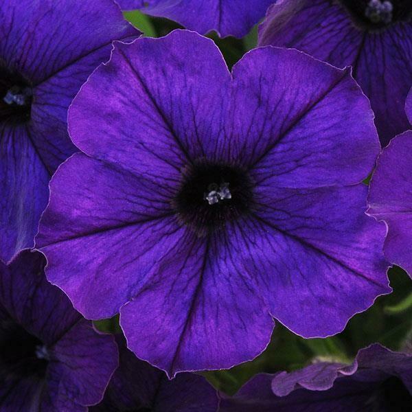 Petunia - Sun Spun Blue