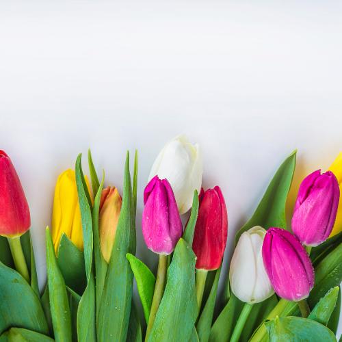 "Tulips 10""  Pot (12 blooms)"