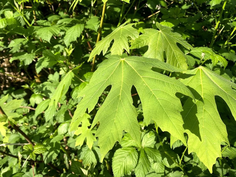 Acer macrophyllum - Big-Leaf Maple