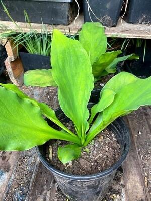 Lysichiton americanus - Skunk Cabbage