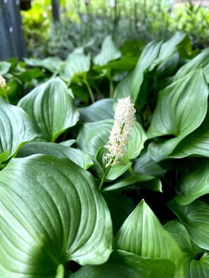 Maianthemum dilatatum - False Lily of the Valley