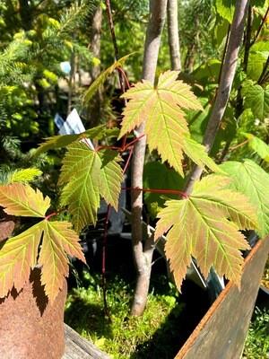 Acer glabrum - Douglas Maple