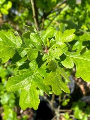 Quercus garryana - Oregon White Oak