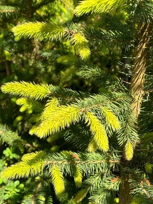 Picea sitchensis - Sitka Spruce
