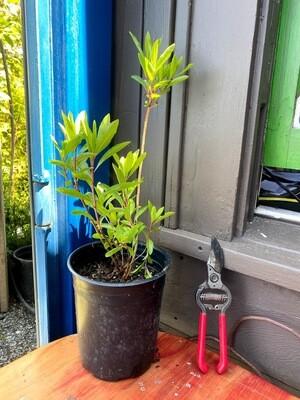 Rhododendron occidentale - Western Azalea
