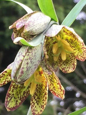 Fritillaria affinis - Chocolate Lily