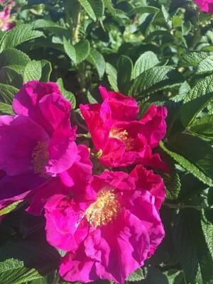 Rosa rugosa - Rugosa Rose